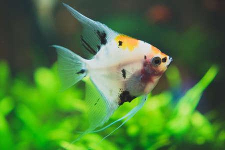 Freshwater angelfish in home aquarium. Pterophyllum.