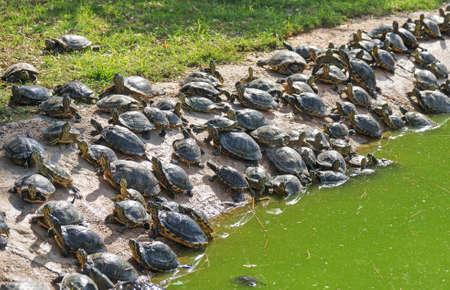 Lot of turtles sunbathing on the pond beach.