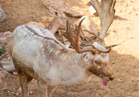 Deer suffers from heat in the national park.