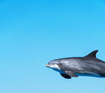 Dolphin flying in the air. Place for text. Archivio Fotografico
