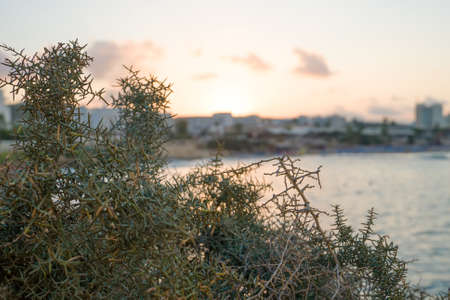 Thorns, spines, and prickles in front of Fig Tree Beach in Protaras on sunset.