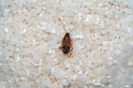 Deceased cockroach from means against cockroaches. Close-up in rice.