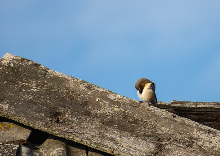 White Sparrow on the roof