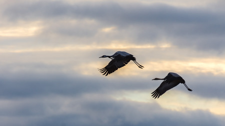 Cranes in flight among the clouds at dawn