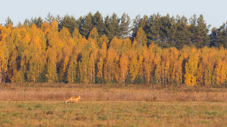 Fox in the field looking for mice, autumn morning