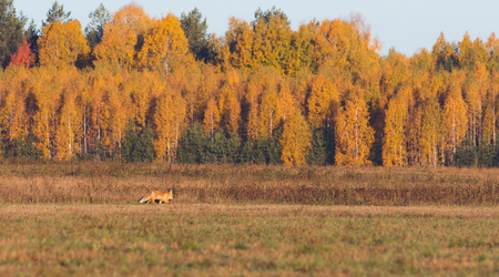 Fox in the field looking for mice, autumn morning Stockfoto - 115062624