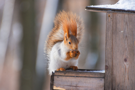 Squirrel on the feeder in winter