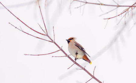 Waxwing on a branch close up in winter