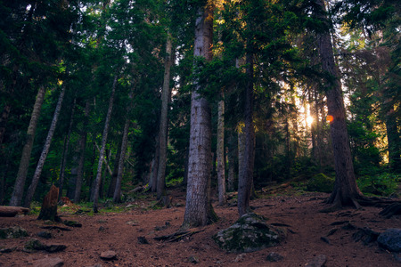 The suns rays make their way through the foliage of tall fir trees in the forest.