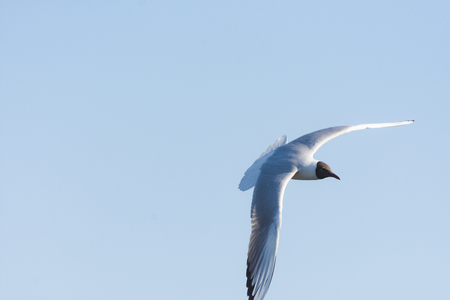 Seagull in flight close-up during the day