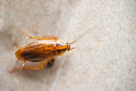 Macro photo of a cockroach close-up in excellent quality. Pest Control. Foto de archivo