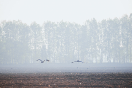 Cranes on the field in the spring morning in flight 写真素材