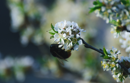 Bees on the cherry blossoms to collect nectar