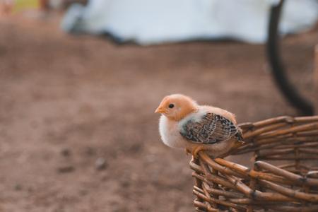 Little chicken walks on a summer evening