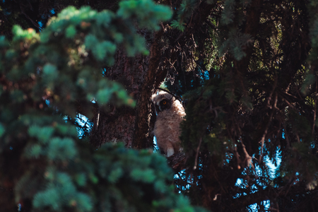 Chick owl sitting on the branches of spruce and examines the neighborhood