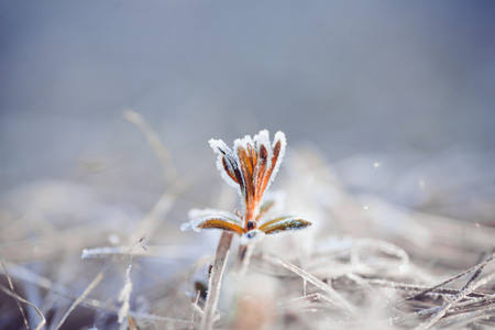 Macro photo of frost on the grass in the morning at dawn 写真素材