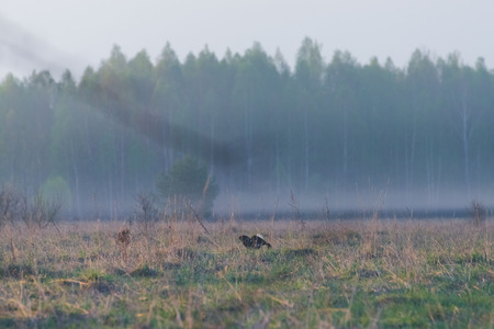 Black grouse tokuyut spring morning in the fog with the first rays of the sun Reklamní fotografie
