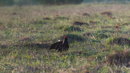 Black grouse tokuyut spring morning with the first rays of the sun