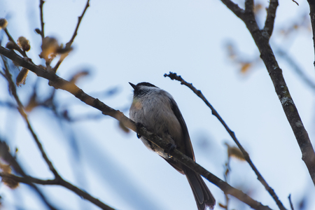 Grey bird sitting on a twig in the afternoon