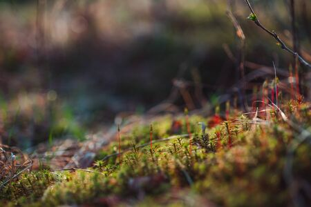 Macro photo of moss in spring forest with beautiful bokeh