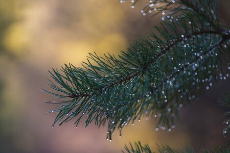 Dew on a pine twig in the morning 写真素材