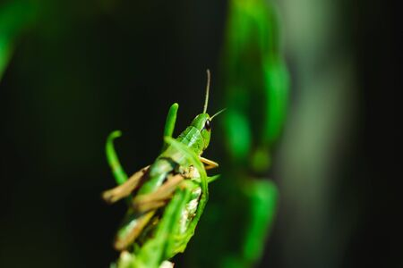 Macro photo of green grasshopper on grass in summer