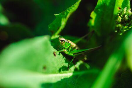 Macro photo of green grasshopper on grass in summer Stockfoto