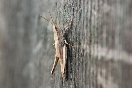 White grasshopper on old grey wooden Board