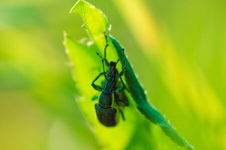 Two beetles mating on the grass macro photo