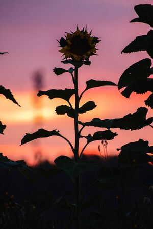 Sunflowers in the field at sunset on a summer evening