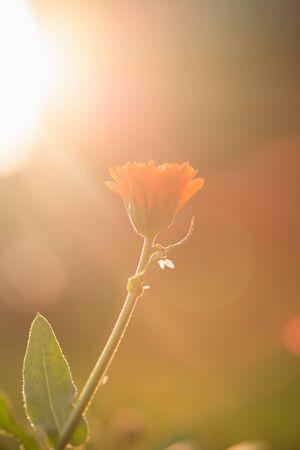 Calendula flowers at sunset on a summer evening. Orange flower at sunset
