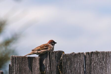 Sparrow sitting on a wooden fence in the summer Banco de Imagens
