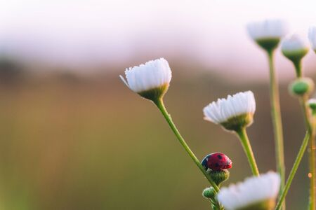Ladybug on a Daisy flower at dawn with dew in summer