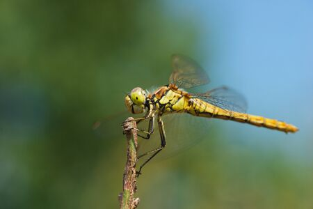 Macro photo of a dragonfly sitting on a blade of grass Archivio Fotografico - 129423500
