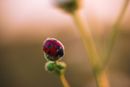 Ladybug on unopened Daisy flower at dawn with dew