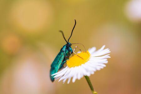 Green butterfly sitting on a Daisy Stock fotó