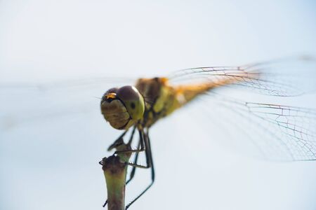 Macro photo of a dragonfly sitting on a blade of grass Archivio Fotografico - 129423411