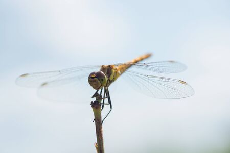 Macro photo of a dragonfly sitting on a blade of grass Archivio Fotografico - 129423412