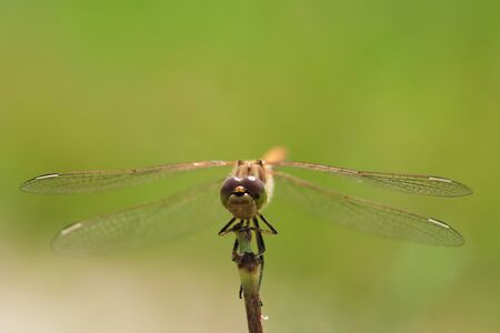 Macro photo of a dragonfly sitting on a blade of grass Archivio Fotografico - 129423416