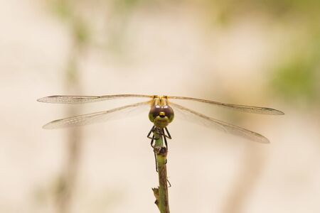 Macro photo of a dragonfly sitting on a blade of grass Archivio Fotografico - 129423413