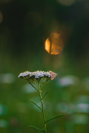 A little orange butterfly on a white flower at sunset Stock fotó