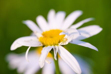 Beautiful macro photo of a spider on a Daisy petal