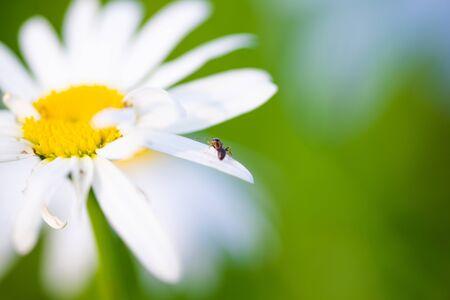 Beautiful macro photo of an ant on a Daisy petal