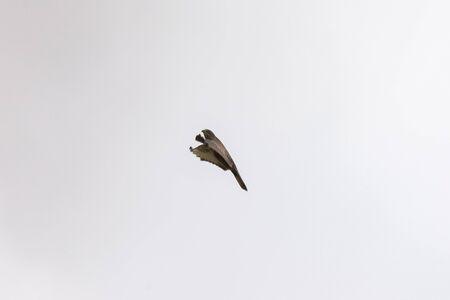 Buzzard in flight waving his wings