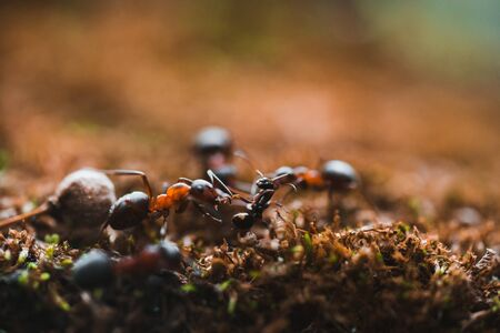 Ants are hardworking haul the twig in the moss Reklamní fotografie