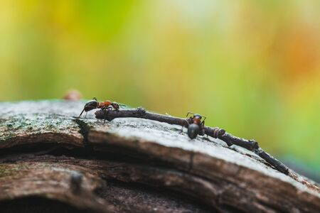 Ants are hardworking haul the twig in the moss Stock Photo