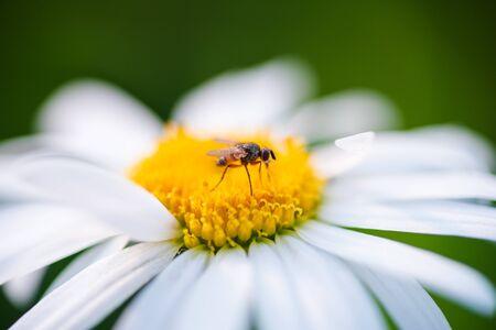 Beautiful macro photo of a fly on a Daisy