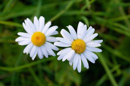 Beautiful macro photo of daisies on top