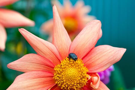 Beetle on a beautiful pink color Stock fotó