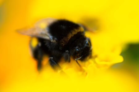Macro photo bumblebee on an orange flower. Bumblebee collects nectar on the flower. Stock fotó